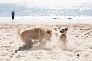 Dogs Playing in the Sand on Beach