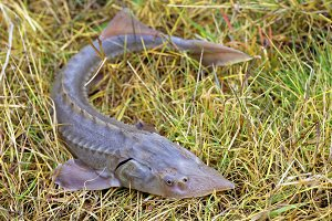 Siberian sturgeon on the grass