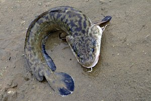 Burbot, lying on the sand