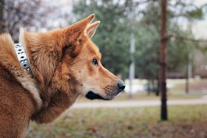 Redhead big dog, portrait