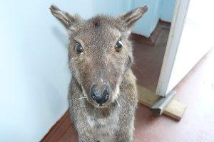 Kangaroo in the human dwelling