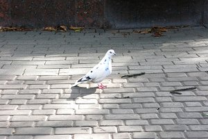 White dove pigeon bird on the tile