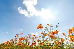 Thymophyllia,yellow flowers on sky