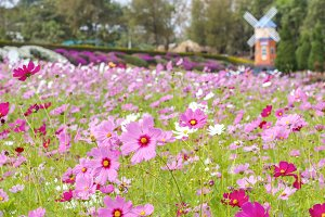 Pink cosmos blossom flower in park