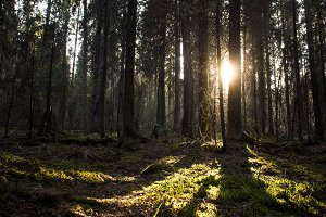 The sun breaks through the trees in the forest. Karelia