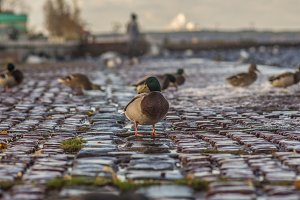 Duck on the waterfront of Onega Lake
