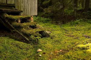 Moss-covered steps of a house in the Karelian forest