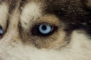 Eye of a husky close-up