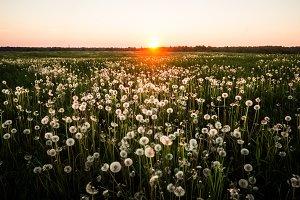 Sunset on the Dandelion Field