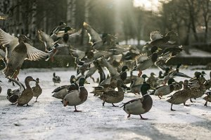 Ducks on the ice in the park