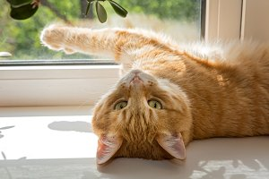 Red cat basking on a windowsill