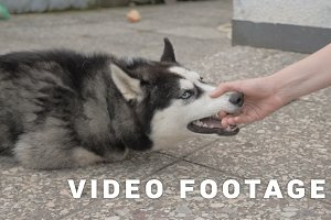 Girl plays with a husky