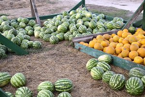 Collected in a pile of melons and watermelons