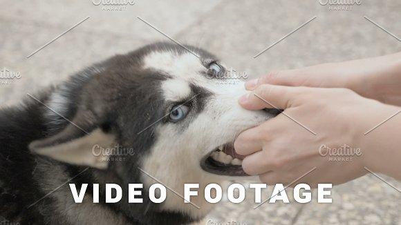 Girl plays with a husky