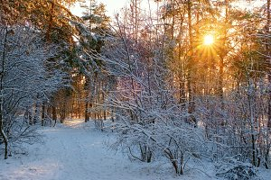 Winter forest with snow in sunny day