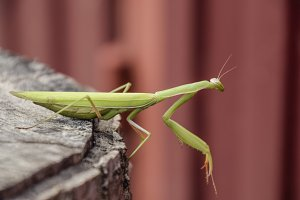 female mantis sits on a tree stump. Insect predator mantis.
