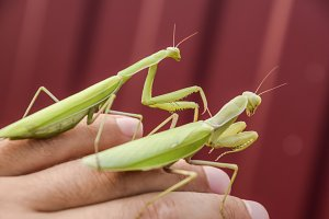 female and the mantis are sitting on the palm of a man. Insect predator mantis.