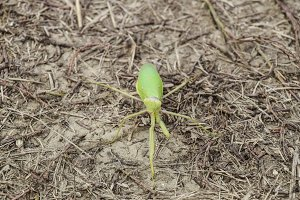 Mantis on the ground. Mantis looking at the camera. Mantis insect predator