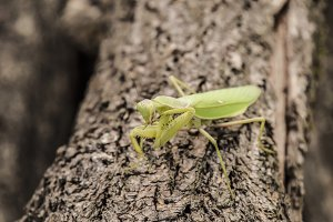 Mantis on a log acacia. Mantis looking at the camera. Mantis insect predator