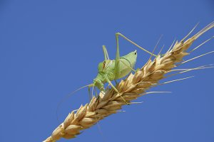 Isophya. Grasshopper is an isophy on a wheat spikelet. Isophya a