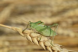 Isophya. Grasshopper is an isophy on a wheat spikelet.