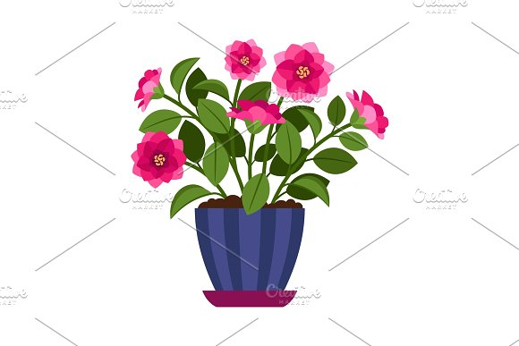Camellia house plant in flower pot in Illustrations