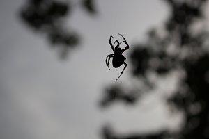Arachnic Deathicus