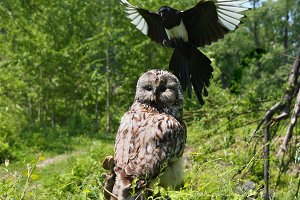 An aggressive magpie