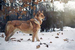 Beautiful redhead big dog. Snowfall.
