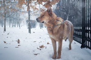 Beautiful redhead big dog. Snowfall