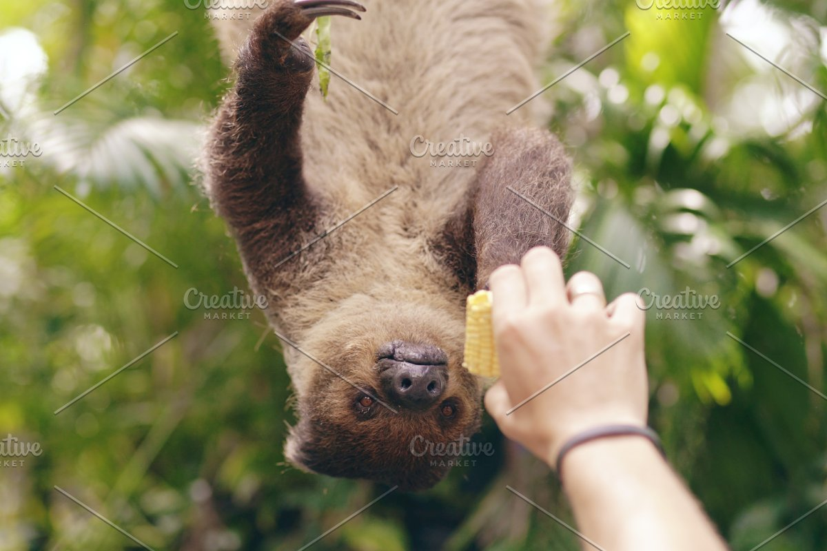 Human hand feeding sloth with corn in the zoo in national park in Thailand