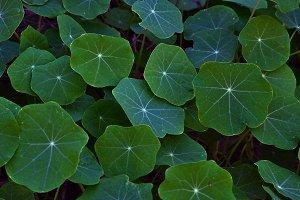 Green leaves of nasturtiums