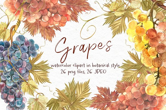 Grapes in botanical style in Illustrations