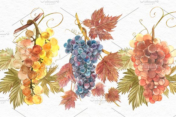 Grapes in botanical style in Illustrations - product preview 1