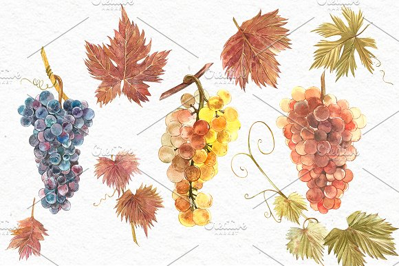 Grapes in botanical style in Illustrations - product preview 3