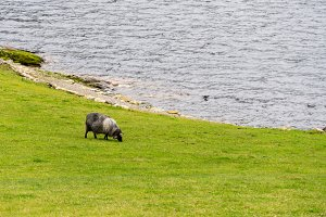 Sheep grazing by fjord in Norway