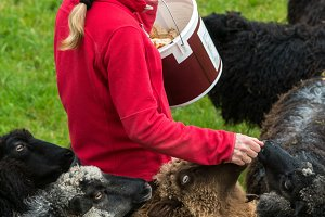 Woman feeding sheep on Norwegian farm near Bergen