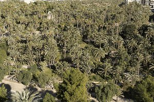 Palm grove of the Elche city.