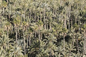 Palm grove of Elche