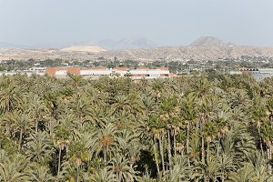 Palm grove of elche in Spain.