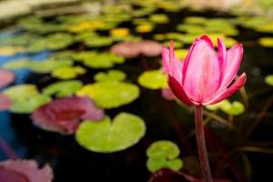 Pink lily in fountain