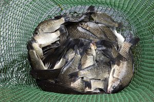 River fish in a green plastic grid in a pond. Fish catch. Carp and carp. Weed fish.