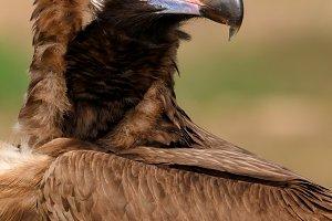 Big vulture