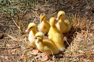 A group of young ducklings