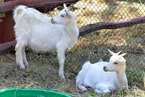 Two white goats grazing in a paddock