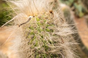 Close up hairy Old Man Cactus