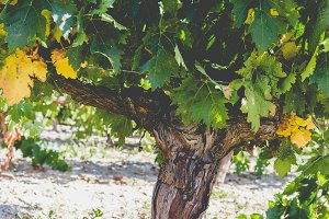 Grapevine detail with trunk & earth