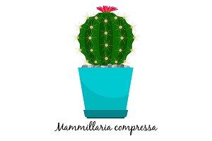 Mammillaria compressa cactus in pot