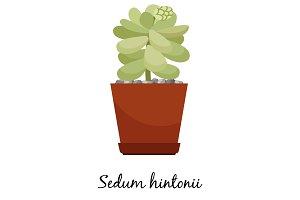 Sedum hintonii cactus in pot