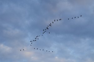 Wild geese. A flock of birds flying against the sky